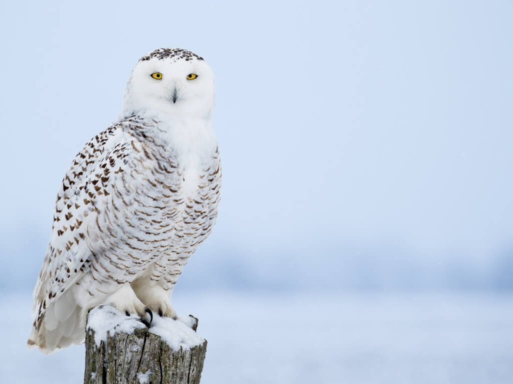 %name snowy owl